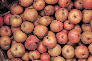 25.Desde el siglo XI los manzanos constituyeron una de las principales riquezas de los caserios de Guipuzcoa.