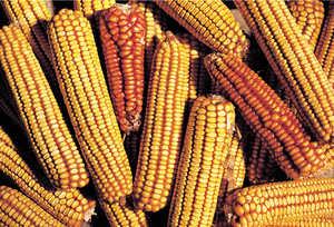 36.El maiz se difundio en Guipuzcoa desde los primeros años del siglo XVII. No trajo la riqueza para nadie pero permitio sobrevivir dignamente a muchas familias modestas.