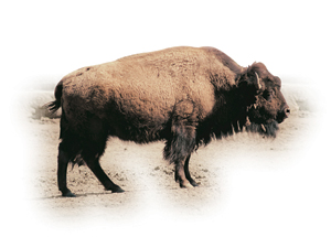 62. Present-day bison. Note the thick hair at the front.© Xabi Otero
