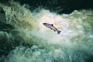 97. A salmon jumps the rapids.© Xabi Otero