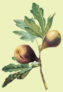 133. Figues.