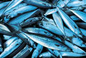 142. One of the ingredients of fish sauce was mackerel.© Xabi Otero