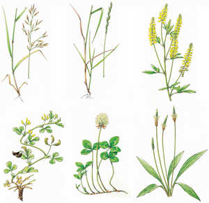 143. Plants from the pastureland documented at Intxur.: Meadow fescue (Festuca pratensis), Perennial Ryegrass (Lolium perenne), Sweet clover (Melilotus altissima), Medicago hybrida, Red clover (Trifolium pratense),  Ribwort plantain (Plantago lanceolata)© Iñaki Zorrakin