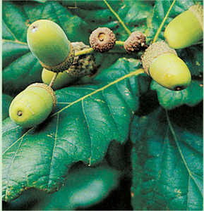 144. Iron Age settlers supplemented their diets by gathering fruit, nuts and seeds. Acorns.© Lamia