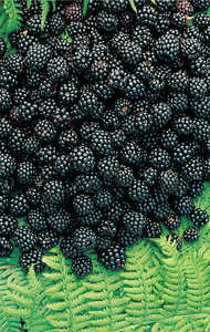 151. Blackberries.© Lamia